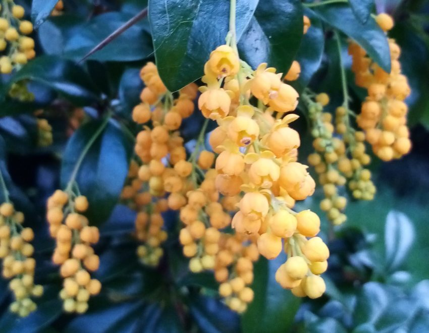Berberis valdiviana in flower